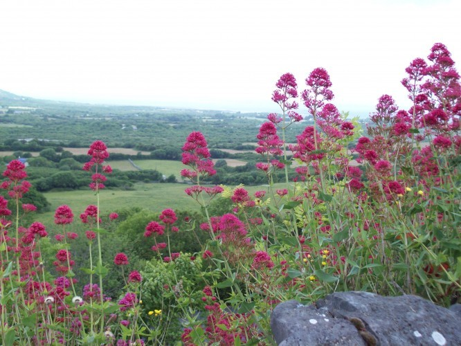 Clare wildflowers